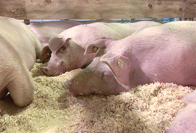 Pigs laying in bedding